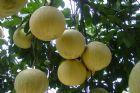 白柚照片+彩色文字說明及參考網址4