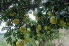 白柚照片+彩色文字說明及參考網址7